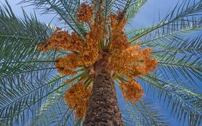 date palm, BARREL, foliage, crown, tree