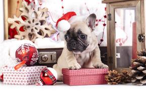 Ano Novo, Bulldog Francês, cão, cachorro, boné, presentes, Cones, Bolas, Brinquedos