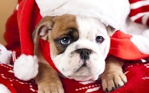 Bulldog Inglês, cão, cachorro, focinho, ver, boné