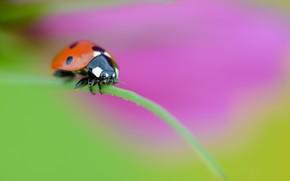 ladybug, blade, Macro