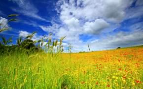フィールド, 空, トウモロコシの穂, フラワーズ, 風景