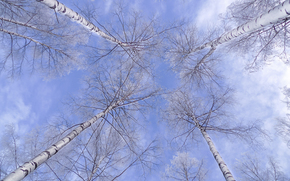 sky, clouds, trees, Birch, crown, nature