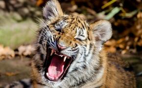 Амурский тигр, тигр, тигрёнок, котёнок, детёныш, морда, пасть