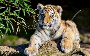 Амурский тигр, тигр, тигрёнок, котёнок, детёныш, ветки