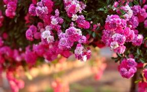 розовый куст, розы, куст