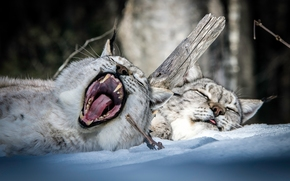 lynx, couple, recreation, dream, gape, jaws, snow, winter