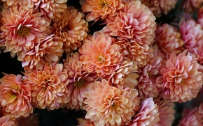 Chrysanthemum, Petals, lot
