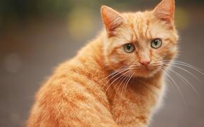 gatto, COTE, Red, museruola, baffi, visualizzare