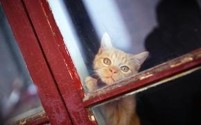 COTE, gatto, Mike Farley, Red, museruola, visualizzare, finestra
