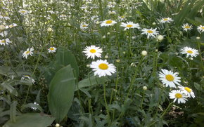 Flowers, summer, Chamomile