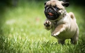 мопс, собака, щенок, прогулка, бег, трава