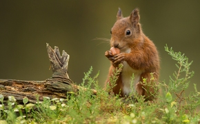 esquilo, Ruivo, nutlet, protuberância, grama