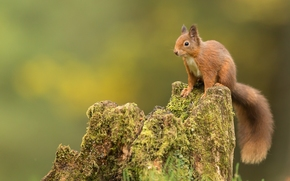 松鼠, 红发, 树桩