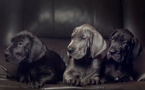 German dog, Dog, Puppies, Trinity, trio