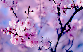 Sakura, cherry, BRANCH, flowering, flowers, bokeh