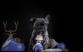 французский бульдог, собака, щенок, телефон