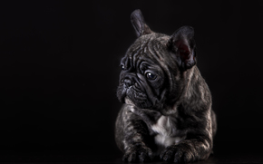 Bulldog Francese, cane, cucciolo, posa