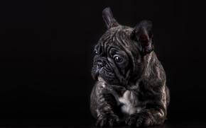French Bulldog, dog, puppy, pose