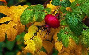 autumn, briar, foliage, BRANCH, Fruit, Macro, nature
