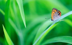 mariposa, hierba, Macro
