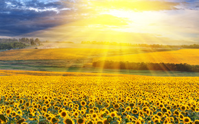field, Sunflowers, RAYS OF THE SUN, landscape