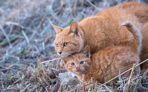 кошка, котёнок, рыжие