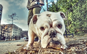 английский бульдог, бульдог, собака, морда, взгляд, улица, прогулка
