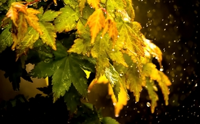 autumn leaves, drops, Macro