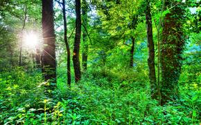 лес, деревья, природа, солнечные лучи