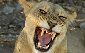 leonessa, grin, predatore