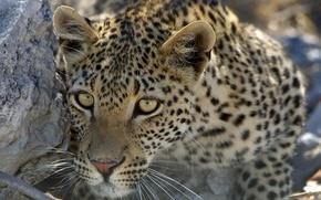 leopard, predatore, visualizzare, animale