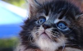 Maine Coon, gattino, museruola