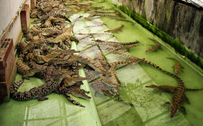 Crocodiles, predators, Crocodile Farm