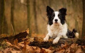 dog, log, foliage, autumn