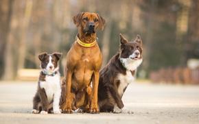 собаки, трио, троица, друзья