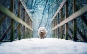 哈瓦那犬, 狗, 桥, 雪, 冬天