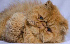 Persiano, gatto, COTE, Red, museruola, visualizzare, Piede