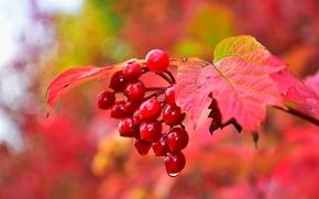 autumn, branch, BERRY, foliage, Macro