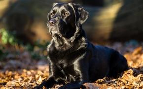 Лабрадор-ретривер, собака, листья