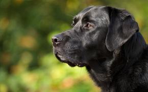 Лабрадор-ретривер, собака, морда, профиль, портрет
