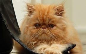 Persiano, gatto, COTE, gatto, Redhead, Peloso, museruola, visualizzare