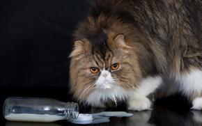 персидская кошка, кот, пушистый, взгляд, бутылка, молоко