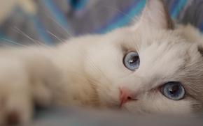 Ragdoll, gatto, museruola, gli occhi azzurri, visualizzare