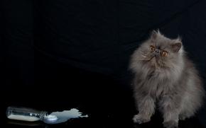 Persian cat, COTE, fluffy, bottle, milk
