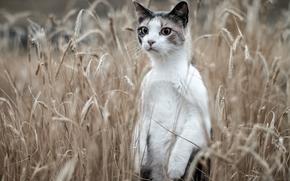 gatto Meerkat, COTE, cremagliera, campo, spighe di grano
