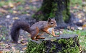 scoiattolo, roditore, animale
