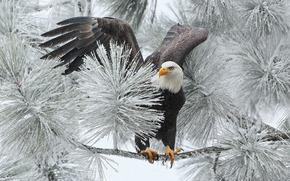белоголовый орлан, ястреб, птица, ветка, зима