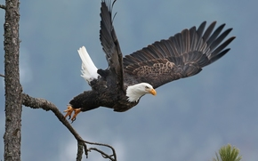 Bald Eagle, hawk, bird, wings, takeoff, tree