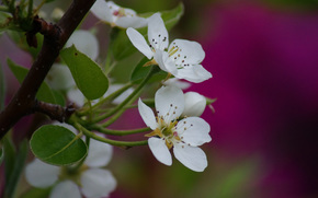 cherry, blossoms, Macro, branch, Flowers, foliage