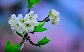 Kirsche, Blüten, Macro, Zweig, Blumen, Laub